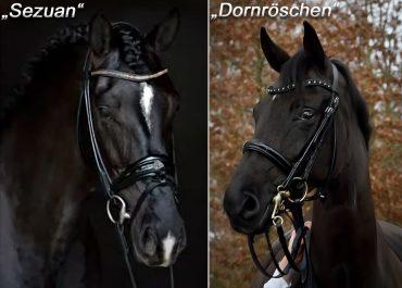 Fohlen von Sezuan a.d. Dornröschen v. Don Schufro